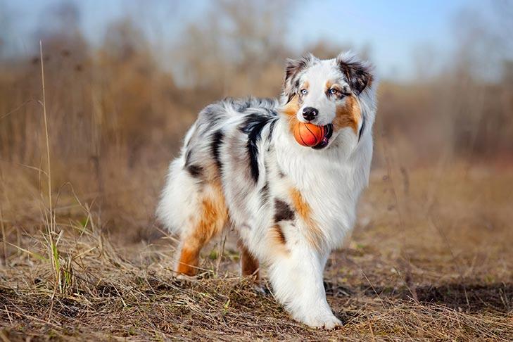 Австралийская овчарка с мячом