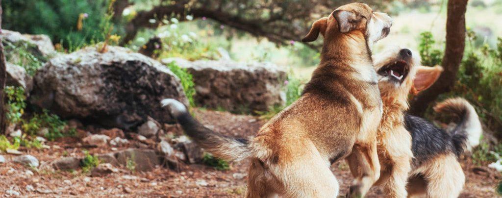 Драка собак в парке