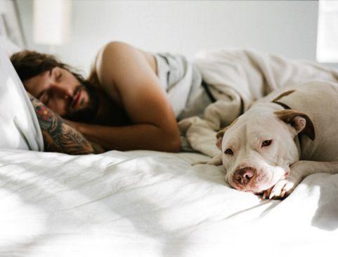Щенок питбуля спит в кровати хозяина