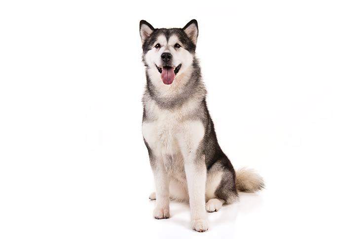 Пугливая собака породы лайка