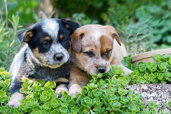 щенки австралийской пастушьей собаки