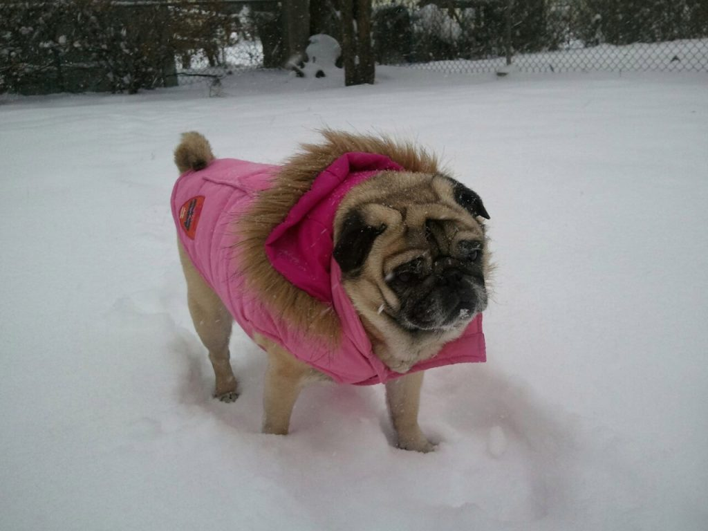 Мопс мёрзнет зимой на улице