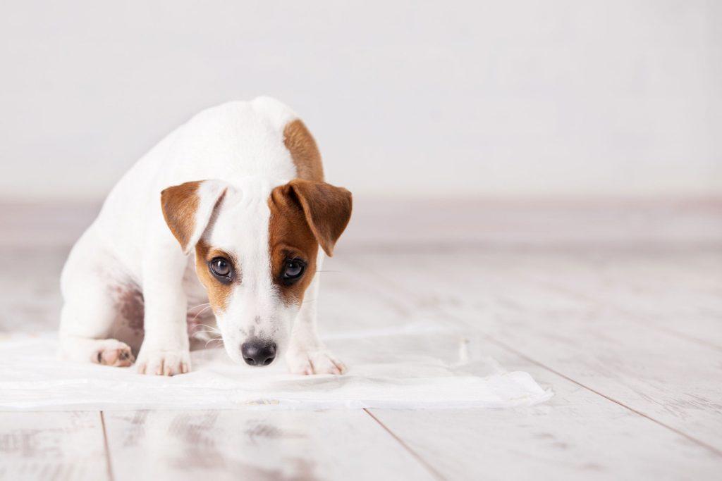Неконтролируемое мочеиспускание у собаки
