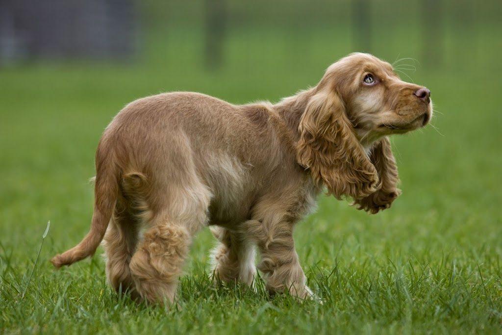 Пугливый щенок коккера