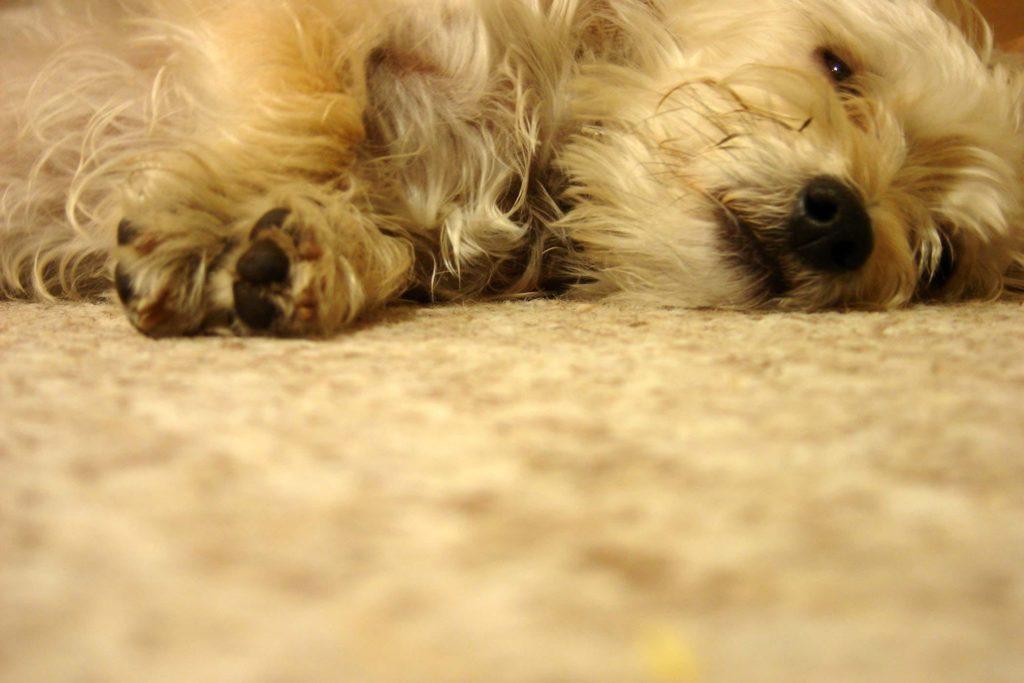 Бешенство у домашней собаки