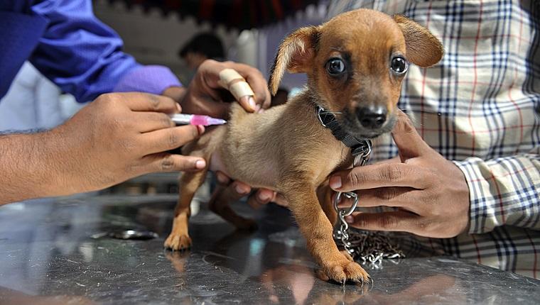 Вакцинация щенка от бешенства
