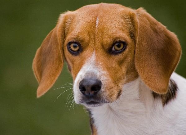 Красные глаза у собаки могут быть серьезной проблемой