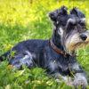 Цвергшнауцер - собака-сторож